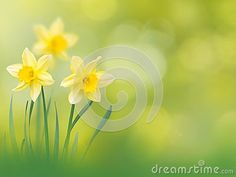 Yellow narcissus flowers on the spring blurred garden background