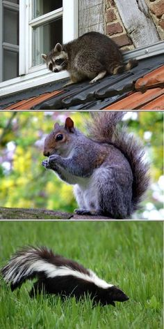 How To Get Rid Of Squirrels In Your Attic Stepbystep