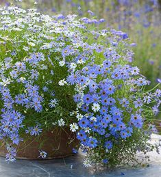 Brachyscome multifida 'Blue and White mix'