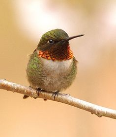 Ruby-throated Hummingbird: Adult male. Iridescent red throat.  Grayish green vest.  Long, straight, thin bill.  © J Young