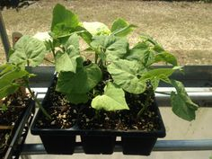 Bush bean plants started in the greenhouse.