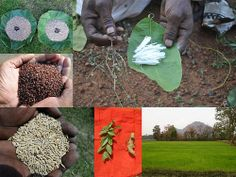 Validated and Potential Medicinal Rice Formulations for Hypertension and/with Diabetes mellitus Type 2 Complications (TH Group-276) from Pankaj Oudhia's Medicinal Plant Database