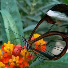 Beautiful transparent butterfly.