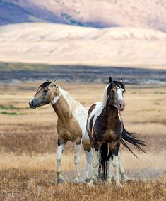 Two Beautiful Wild Mustangs Taking a Little Time out From Their Travels. All The Pretty Horses, Beautiful Horses, Animals Beautiful, Horses And Dogs, Wild Horses, Black Horses, Horse Photos, Horse Pictures, Cheval Pie