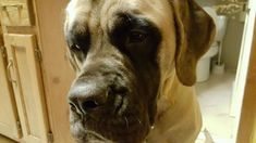 Lost Dog- South Haven- Mastiff English- Female  Date Lost: 04-01-2018 Dog's Name: Suge Breed of Dog: Mastiff English Gender: Female Closest Intersection: 170th Street & 160th Street with CR 7 City where Lost: South Haven Zip Code 55382 County: Stearns Color: Tan Dog's Age: Adult Dog's Size: X-Large (Over 100 lbs) Any information on how lost description etc: If you see her try to call for Suge and ask her if she wants a treat.  She loves food and knows the word treats! She has a black snout…