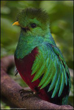 Resplandecente Quetzal (Pharomachrus mocinno), Panamá.
