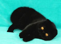 Black Exotic Shorthair cat. I absolutely want one! Chubby Puppies, Puppies And Kitties, Cats And Kittens, Doggies, Pretty Cats, Beautiful Cats, Pretty Kitty, Kittens Cutest, Cute Cats