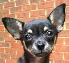 Angie, a black and tan Chihuahua puppy