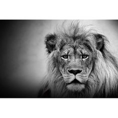Found it at Wayfair - King of the Jungle Photographic Print