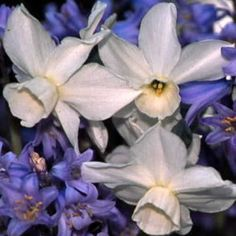 """Narcissus 'Petrel' - (5 W-W) 3-5 pure white, bell-shaped florets per stem on this small, floriferous, American bred beauty; exceptional fragrance; wins lots of ribbons in shows and is great in patriotic gardens; 12""""-14""""; mid-late spring."""