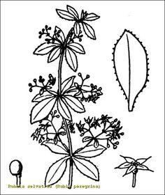 Rubia peregrina (carrasquilla o granza)