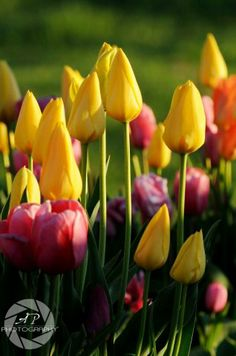 #Tulips in the garden are a special treat each #spring.