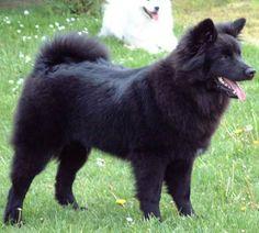 Swedish Lapphund photo | Svensk Lapphund, Schwedischer Lapphund, Swedish Lapphund - Hunde Foto ...