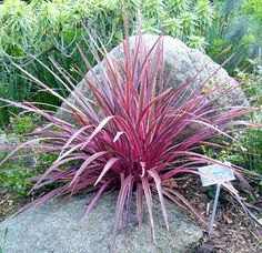 Grasses Gone Wild: Tame Those OrnamentalGrasses. A New Zealand flax in spectacular form at the San Diego Botanical Garden.  Photo © Lisa Hallett Taylor  Ornamental grasses are fairly new on the landscape scene - they've increased in popularity in recent years. In regions experiencing drought, ornamental and native grasses indigenous to the area have become a smart and stunning part of the landscape. Some grasses have been brought from parts of the world that share similar climates, but even…