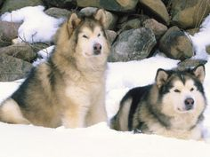 Alaskan Malamutes...so beautiful
