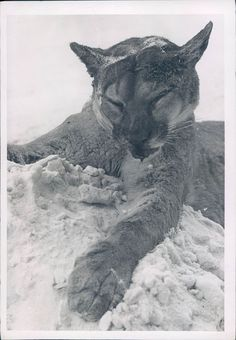 1946 Photo Mountain Lion Escape Animal Local Zoo Kane PA Casey Mongrel Dog