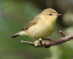 arranislander:  Willow warbler