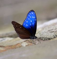 #Butterfly The Elusive one: Blue Striped Crow