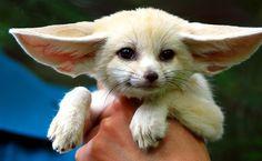 Baby Fennec fox by floridapfe, via Flickr