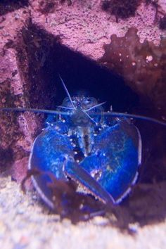 Rare Blue Lobster along the Maine Coast.  Go to www.YourTravelVideos.com or just click on photo for home videos and much more on sites like this.