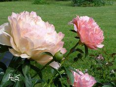 diese Pfingstrose zeigt Blütenfarben von lachs bis hellgelb