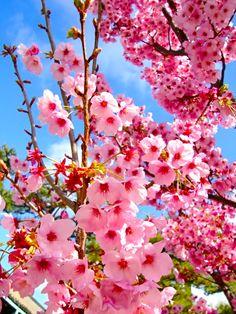 Na Primavera, as cerejeiras enchem-se de flor.