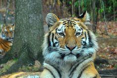 Tiger, Bronx Zoo. Diane Greene Lent