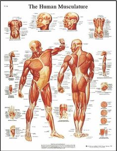 Human Body Muscle Anatomy System Poster Anatomical Chart Educational New Human Muscle Anatomy, Human Skeleton Anatomy, Body Anatomy, Anatomy Drawing, Human Anatomy, Anatomy Art, Human Body Muscles, Muscle Structure, Medical Posters