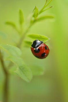 Seven-spot Ladybird ナナホシテントウ | Flickr - Photo Sharing!
