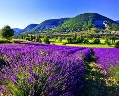 Lavender Field HD Desktop Wallpaper