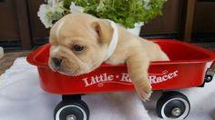 French Bulldog puppy for sale in FARMINGTON, MO. ADN-32310 on PuppyFinder.com Gender: Female. Age: 3 Weeks Old