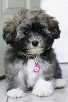 Havanese puppy - one of my two favorite breeds <3