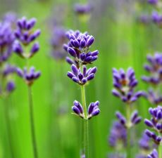 LAVENDER Fragrance Oil Take a walk in the lavender field! A soothing scent with base notes of French Lavender, which is soft and mild. Bulk Essential Oils, Therapeutic Grade Essential Oils, Pure Essential, French Lavender, Lavender Oil, Soap Making Supplies, Perfume, Organic Oil, Fragrance Oil