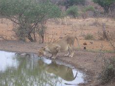 Female Lion Drinking Female Lion, African Safari, Awesome, Amazing, Drinking, Animals, Beverage, Animales, Drink