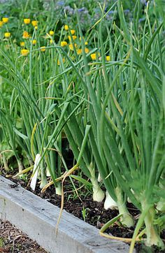 Growing Onions How to grow them, from seeds, sets and transplants. Detailed slideshow on how to plant onions. Raised Garden, Growing Food, Planting Flowers, Plants, Lawn And Garden, Outdoor Gardens, Green Onions Growing, Growing Onions, Garden Supplies