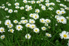 Daisies seem right for a summer wedding