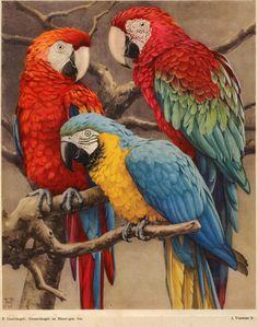 Parrots  —dierenleven in artis 1939 titelpagina