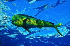 Where Does Mahi-Mahi Come From and What Is the Difference Between a Dolphin and Dolphin Fish? Salt Water Fish, Salt And Water, Underwater Creatures, Ocean Creatures, Cool Fish, Deep Sea Fishing, Mahi Mahi, Mahi Fish, Water Life