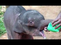 Milk feeding to rescued Baby elelphnat - YouTube