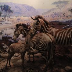 Zebras - Akeley Hall of African Mammals   l  Photo by amnh