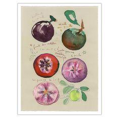 La caimite  La pomme de lait  Fruit des caraibes par lucileskitchen, $30.00