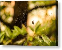 """Master Of The Web - Araneus Diadematus by Ismo Raisanen --------- If you would like to have this photograph hanging on your wall, click the picture to order! Price starting from $22 or €16. Available in #Art Prints, #Canvas Prints, #Framed Prints, #Acrylic Prints, #Metal #Prints and #Greeting #Cards NOTE: The watermark (""""Fine Art America"""") doesn't appear in the print you buy."""