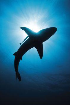 A tiger shark in silhouette  Sharks  Pinterest  Shark Tigers