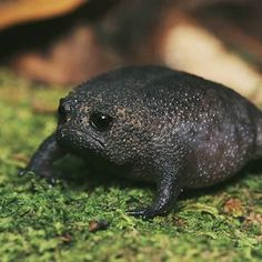 Breviceps fuscus (black rain frog) yes he is a toad. - Breviceps fuscus (black rain frog) yes he is a toad. The Animals, Baby Animals, Funny Animals, Unique Animals, Grumpy Face, Le Zoo, Les Reptiles, Arte Robot, Cute Frogs