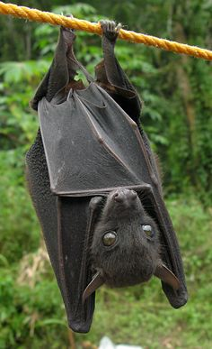 OMG - that face!  What a cutie...wish I could have a bat as a pet.