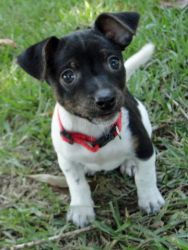 Micky Mouse is an adoptable Toy Fox Terrier Dog in Stroudsburg, PA. 6/24/12 This wee lad is MICKEY MOUSE a male Chic/Toy Rat Terrier mix puppy about 10 - 11 wks, old. He is a super dog! Super cute tha...