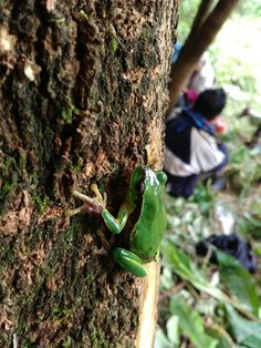 Jungle green frog from Naga