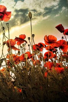 Backlit by the sun, the poppies glow in the warm spring evening.Size: Framed 30 x 42 cm Material: Photographic paper Love Flowers, White Flowers, Rose Photography, Autumn Photography, Armistice Day, Angel Of The North, Warm Spring, Aesthetic Stickers, Purple Roses