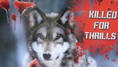 In Minnesota--Killed for Thrills--Howling for Wolves Photo Wolf Photos, Nature Tree, Animal Welfare, Next Week, Mark Dayton, Wolves, Minnesota, Something To Do, Wolf