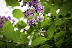 Growing lilacs from cuttings.